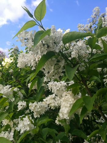 Nature Lilac White Lilac Lilacs Lilac Blossoms Springtime Smartphone Photography P9 Huawei Growth Outdoors Beauty In Nature Sun On Flower Sunny Spring Day Sunlit Blossoms In The Sky Close Up Nature Flower Sunlight Sky Day White Blossoms Flowers,Plants & Garden Spring Garden Spring Botanical Gardens
