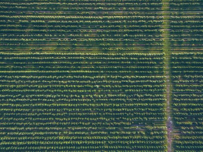 A Bird's Eye View Full Frame Backgrounds Pattern Green Color Textured  Repetition Design Outdoors No People Green Conformity Farm Agriculture | Dji Phantom DJI Phantom 3 Advanced DJI Phantom 3 Phantom 3 Treelines