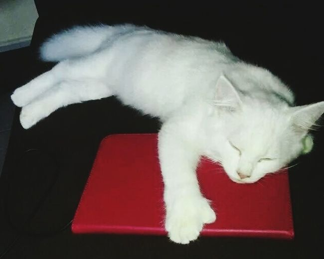 Angora Angoracat Popular Photos Puertorico Relaxing Tablet Gato Cat Kanyn Catlovers