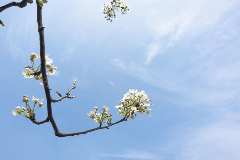 pear blossoms in spring Plant Flower Flowering Plant Sky Beauty In Nature Fragility Tree Vulnerability  Freshness Growth Blossom Nature Low Angle View Branch White Color Springtime Day No People Close-up Twig Outdoors Flower Head Cherry Blossom Spring Cherry Tree Pear Tree  Pear Blossoms White Flower Blue Sky
