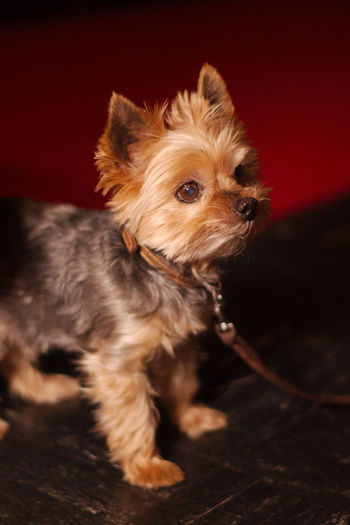 Close-up of yorkshire terrier puppy looking away