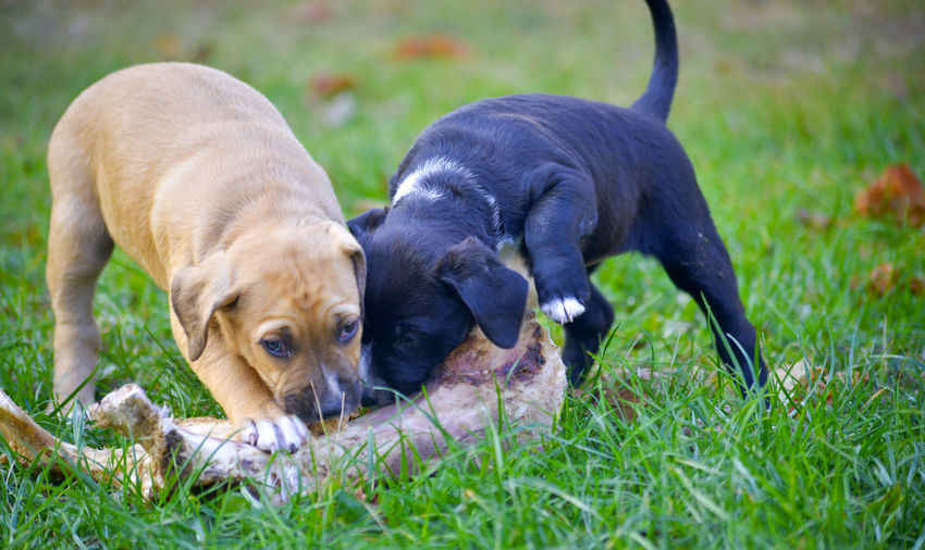 cute puppies eating bone Puppy Grass Dog Bone Bone  BIG Animals In The Wild Pets Brown Puppy Black Puppy Canine Dog Animal Themes Domestic Mammal Domestic Animals Animal Plant One Animal Young Animal No People Field Nature Vertebrate Day