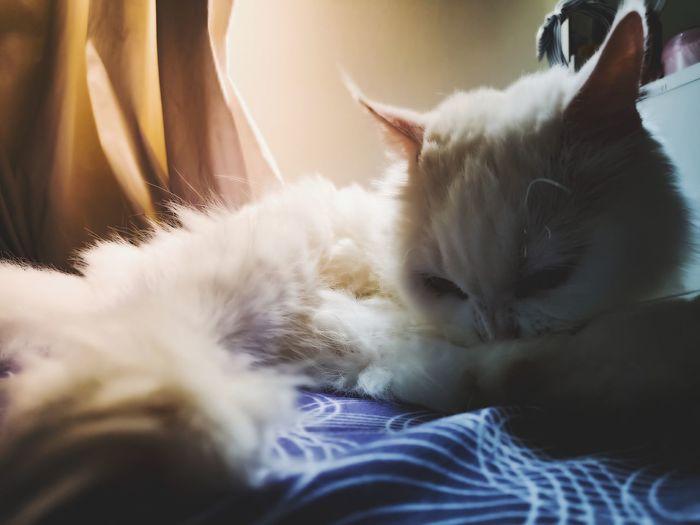 #twotones Pets Bedroom Feline Domestic Cat Animal Hair Sleeping Close-up Fluffy Cat
