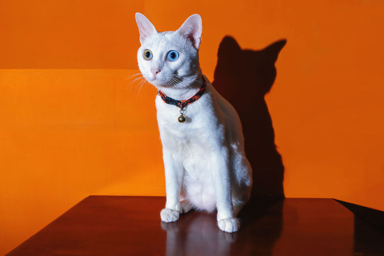 Khao manee siamese cats is sitting on the table and orange color background. this is my lovely pet.