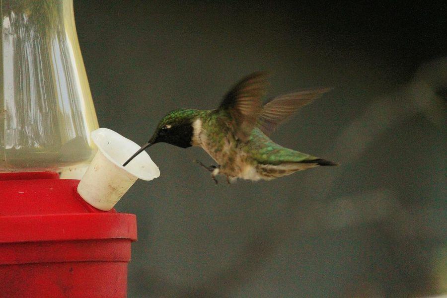 Bird Photography Birds Birds In Flight Humingbird Canonphotography