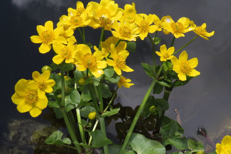 Sumpfdotterblume im Gartenteich (Caltha palustris) Beauty In Nature Blooming Botany Flower Flower Head In Bloom Leaf Marsh Marigold Nature Plant Yellow