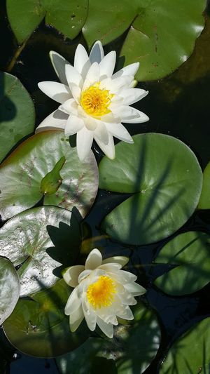 Water Lily Pond View Beauty In Nature Fragility No People Outdoors Pond Nenuphar White Color Close-up