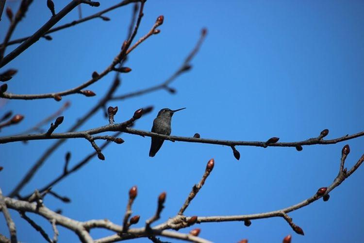 A Single Hummingbir Hummingbird Hummingbird At Res Hummingbird At Rest In The Winter Trr Hummingbird On A Branc Hummingbird Scouts The Area Resting Hummingbird Winter Tree And A Hummingbird Blue Wave