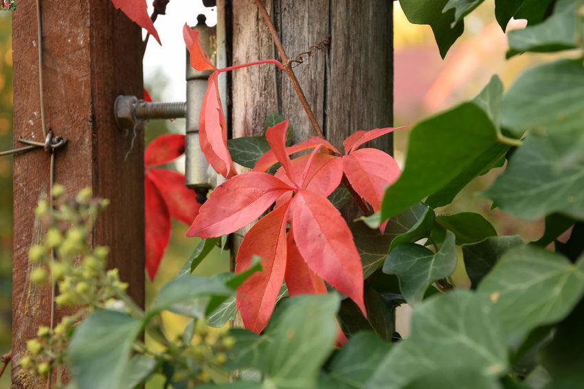Red ivy, Parthenocissus Ivy Leaves Ivy Wall Parthenocissus Beauty In Nature Close-up Day Focus On Foreground Fragility Freshness Green Color Growth Ivy Leaf Leaves Nature No People Outdoors Plant Plant Part Red Vulnerability  EyeEmNewHere