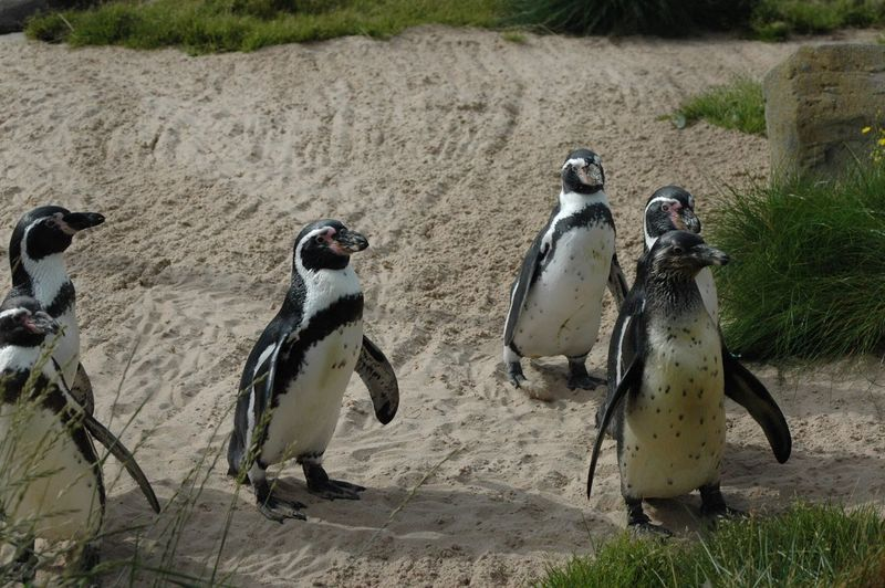 Humboldt Penguins On Sand Outdoors