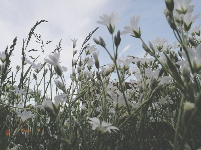 Close-Up Of White Flowers Against Sky