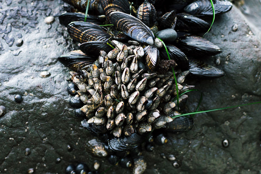 Animal Themes Animals In The Wild Barnicles Beauty In Nature Black Color Close-up Day Freshness Large Group Of Animals Mussels Nature Outdoors