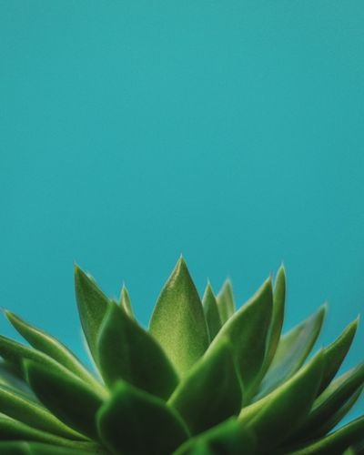 Plant Portrait Reaching Out negative space Low Angle View Pointy Point EyeEm Green Green Color Plant Growth Green Color Leaf Plant Part No People Close-up Succulent Plant Blue Studio Shot Fragility Cactus Nature Indoors