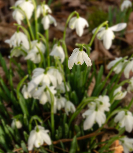 A clump of snowdrops with selective focus Snowdrop Snowdrops Flower Flowering Plant Plant Fragility Beauty In Nature Growth Petal White Color Freshness Nature Selective Focus Clump Of Snowdrops Snowdropflower