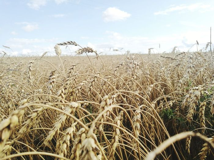Harvest time Agriculture Field Outdoors Growth No People Cereal Plant Beige Tones Close-up Shot Nature