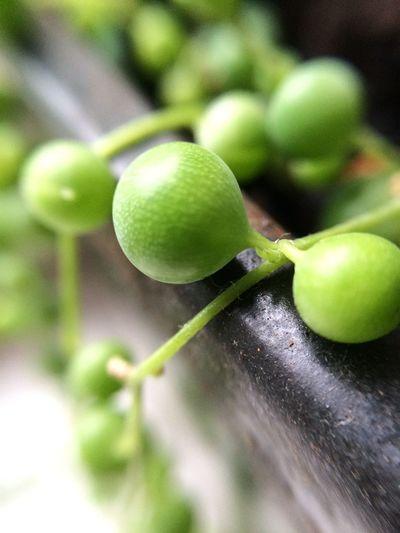 Close-up Freshness Green Organic Pearl Plants Still Life Stringofpearls
