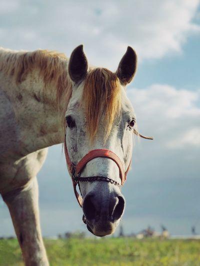 מיייערחדרה IPhoneX ShotOnIphone מיימומנט מייסוס מייחדרה מייטבע מייאייפון10 Horse Animal Themes Focus On Foreground Day Domestic Animals One Animal Livestock Nature Field No People