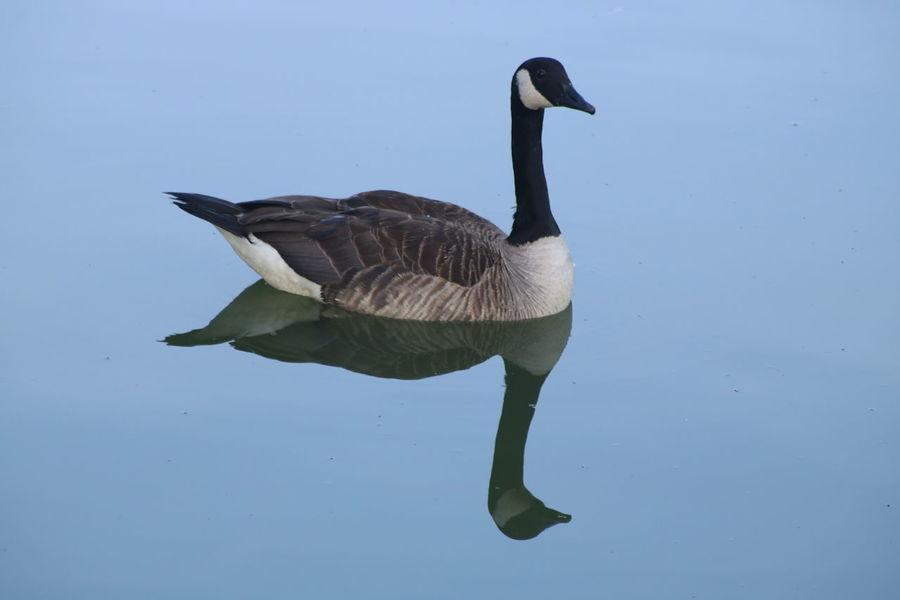 Bird Swimming Canada Goose Goose Geese Gosling Water Bird