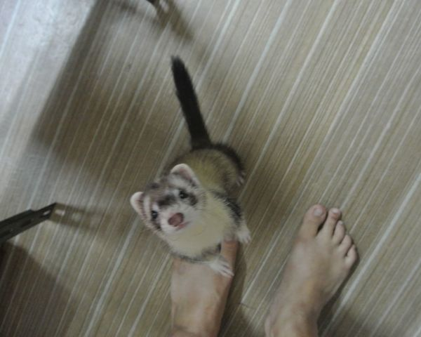 Ferret Animal One Animals Pets One Animal Domestic Animals Animal Themes Day Human Body Part Mammal Low Section Close-up Indoors