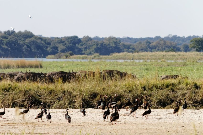 Spur-winged geese in foreground and cape buffalo behind Plectropterus Gambensis Spur-wing Goose Spur-winged Goose Goose Geese Geese Gathering Buffalo Cape Buffalo Okovango River Okovango Cubango River Namibia Africa Caprivi Marsh Wetland EyeEm Selects Tree Bird Safari Animals Sky Colony Group Of Animals Herd