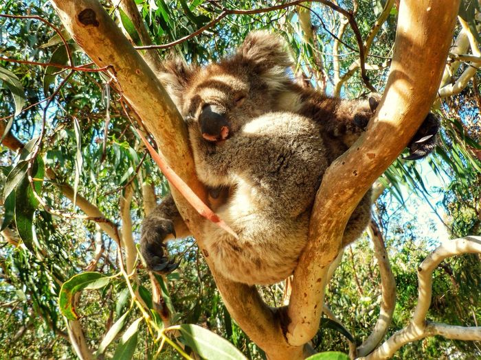 Low angle view of koala sleeping on tree branches