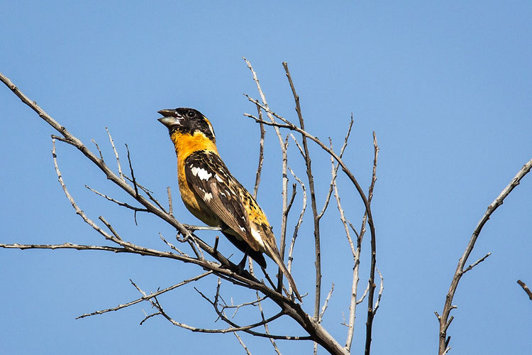 Black Headed Grosbeak Singing in the Morning Black Headed Grosbeak Morning Singing Animal Animal Themes Animal Wildlife Animals In The Wild Bare Tree Bird Blackandwhite Blue Blue Sky Branch Clear Sky Day Low Angle View Nature No People One Animal Orange Color Outdoors Perching Sky Song Tree