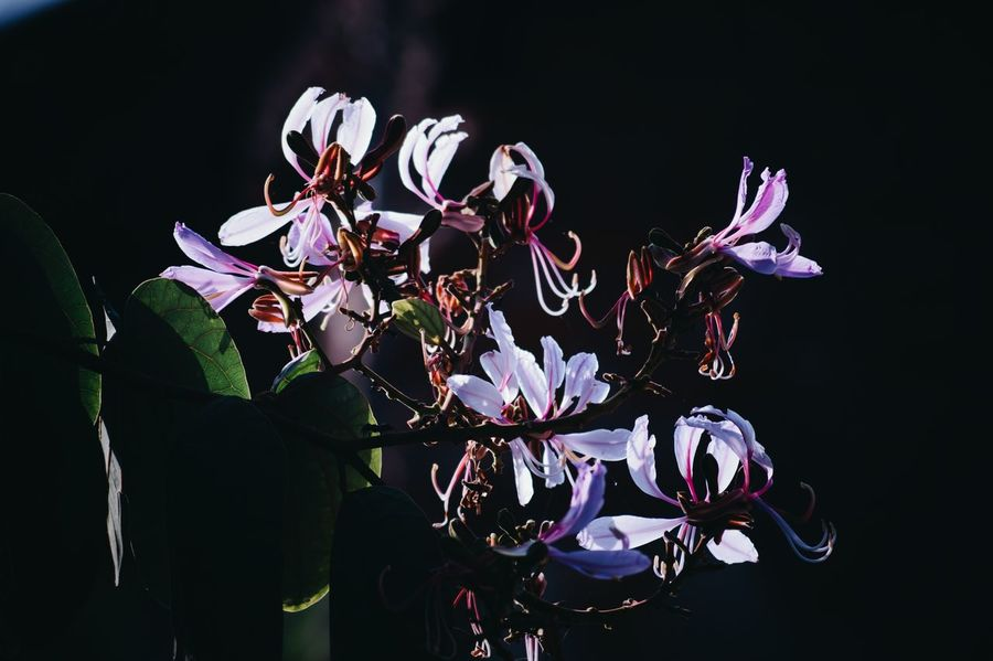 Flower Black Background Nature Beauty In Nature Night Orchid No People Flower Head Close-up Fragility Outdoors