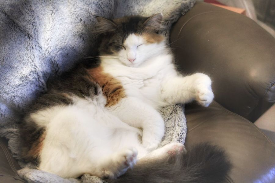 Domestic Cat Pet Comfy  Sleeping Relaxation Eyes Closed  High Angle View