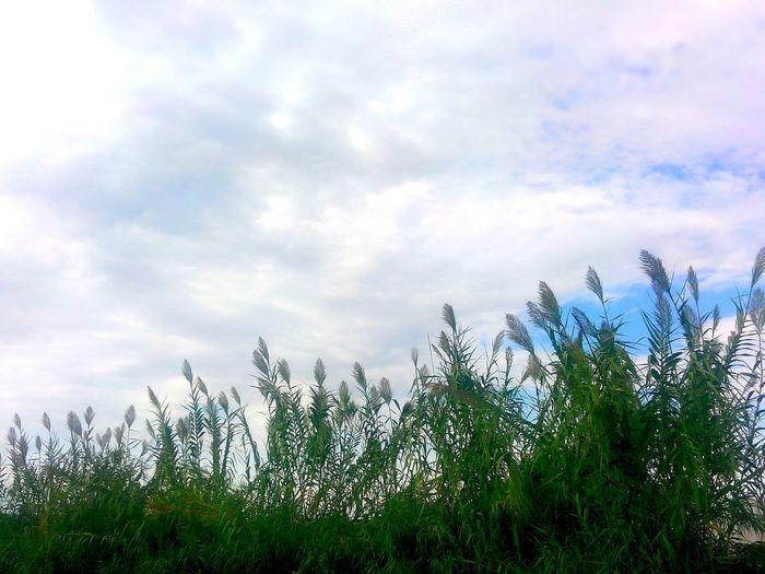 Kargı Arundo Uzun Bitki Köy Plantography