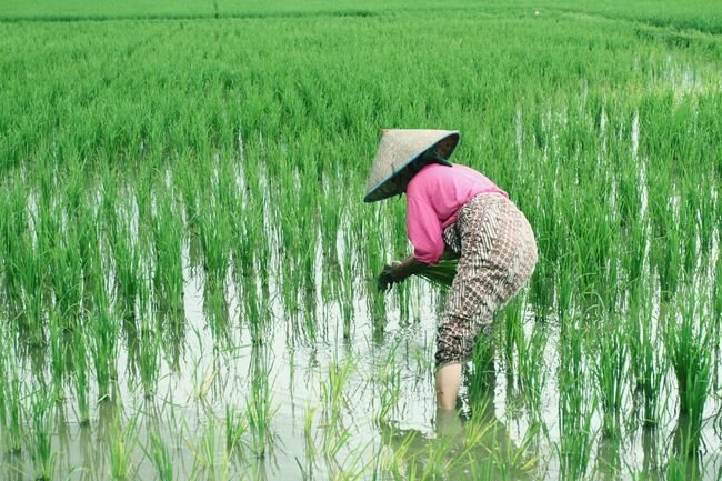 Agriculture Field Growth Farm Cereal Plant Crop  Rural Scene Nature Green Color One Person Real People Farmer Day Beauty In Nature Landscape Water Grass Farm Worker Outdoors Occupation Aceh, Indonesia Loveaceh Pancamedia Nagroe Geonusantara