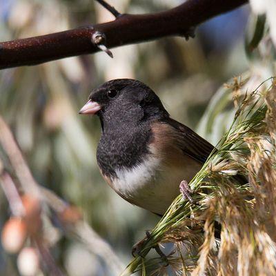 Dark Eyed Junco Birding in Utah