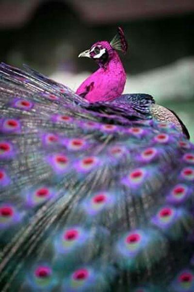 Animals Wildlife Beautiful First Eyeem Photo Colors Birds Magic Popular Photos Pavone Beautiful Photo💛