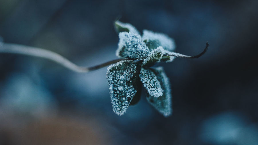Close-up of frozen twig during winter