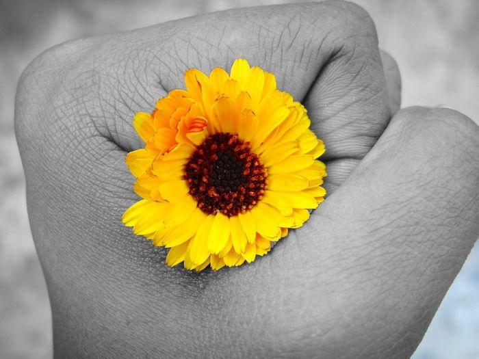 Yellow Flower Human Hand Flower In Hand Beauty Outdoor Photography Day Close-up EyeEm Selects EyeEm Best Shots EyeEm Nature Lover The Creative - 2018 EyeEm Awards The Still Life Photographer - 2018 EyeEm Awards