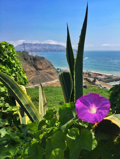 The flowers and their beauties Plant Flower Nature Ocean Lima Peru Miraflores Pacific Ocean Ocean View Sunnyday☀️