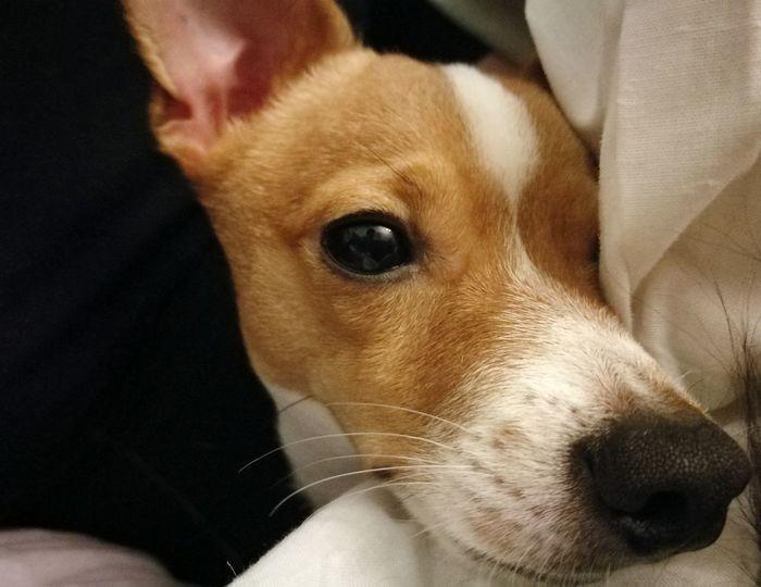 Dog Looking At Camera Pets Close-up One Animal Domestic Animals Animal Themes Indoors  Mammal Jack Russell HuaweiP9