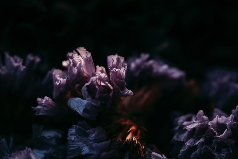 Close-up of purple flower at night