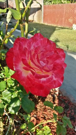 Pretty in Pink Urban Gardening Roses Grandmas Garden Peace And Tranquility