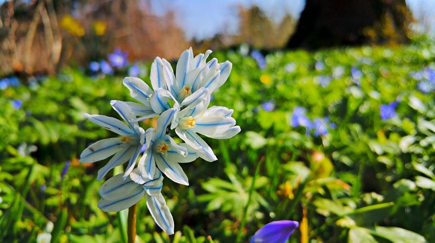 Beauty In Nature Blooming Blue Close-up Day Dortmund Field Flower Flower Head Focus On Foreground Fragility Freshness Growth In Bloom Nature Petal Plant Pollen Purple Rombergpark Scilla Selective Focus Skilla Skilla Flower White Color