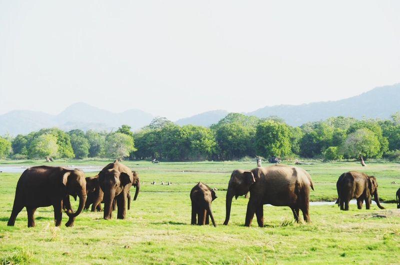 SriLanka Minneriya National Park Elephant 象だぞ〜。