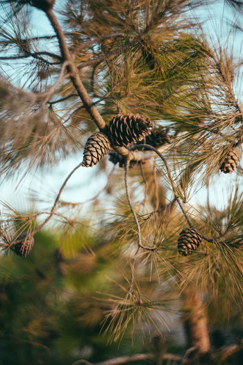 Low angle view of pine cone on tree