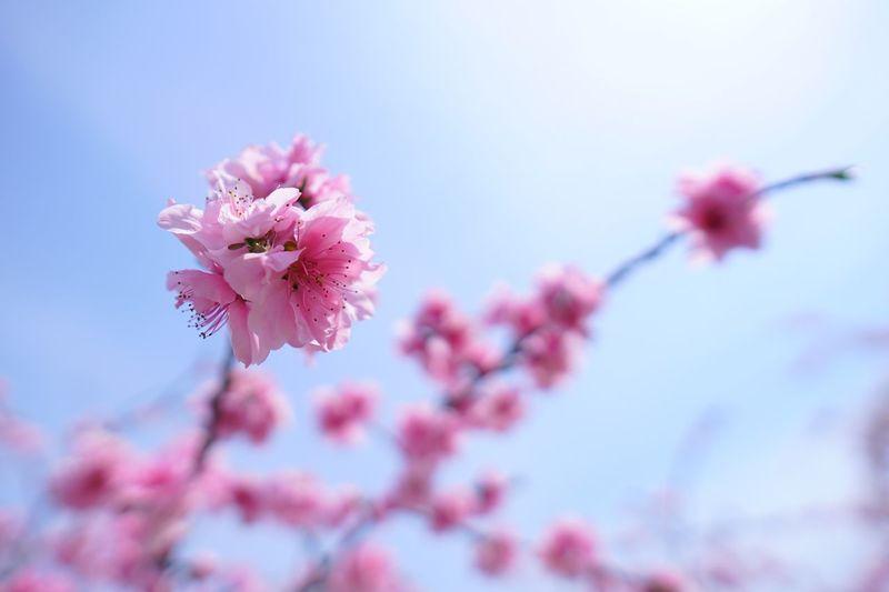 密集 EyeEm Nature Lover Japan Flowering Plant Flower Fragility Freshness Plant Vulnerability  Beauty In Nature Pink Color Growth Petal Blossom Springtime Close-up Nature Flower Head Inflorescence Tree Branch