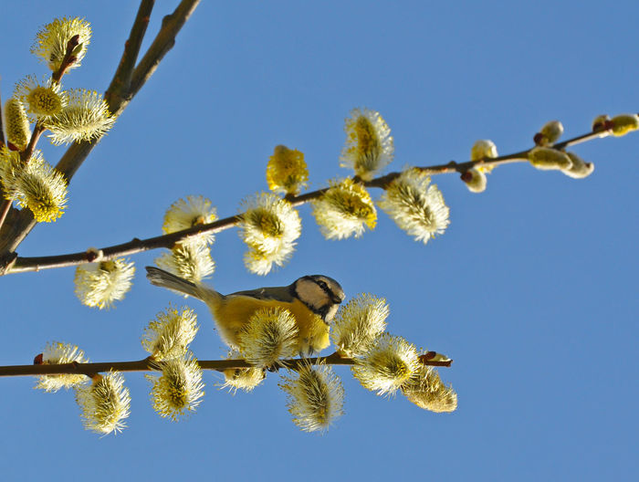Low angle view of bluetit perching on willow tree against clear sky
