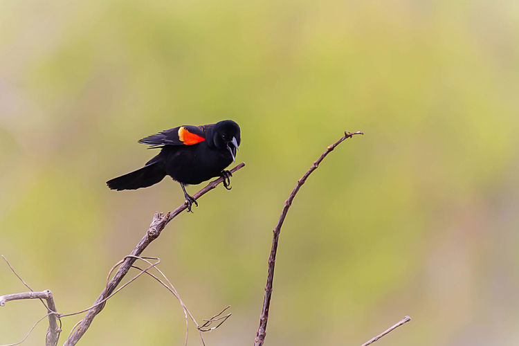 Bird Animal Themes Animals In The Wild Animal Wildlife One Animal Animal Vertebrate Perching Focus On Foreground No People Plant Branch Tree Day Nature Outdoors Black Color Beauty In Nature Close-up Green Color