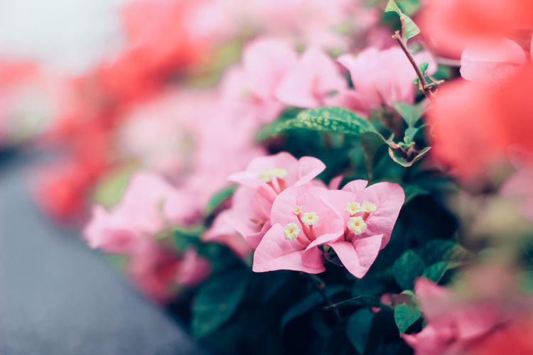 Bush of bougainvillea flower with retro filter effect Beauty In Nature Blossom Close-up Flower Flower Head Fragility Freshness Growth Nature Outdoor Outdoors Petal Pink Color Pink Flower Plant Soft