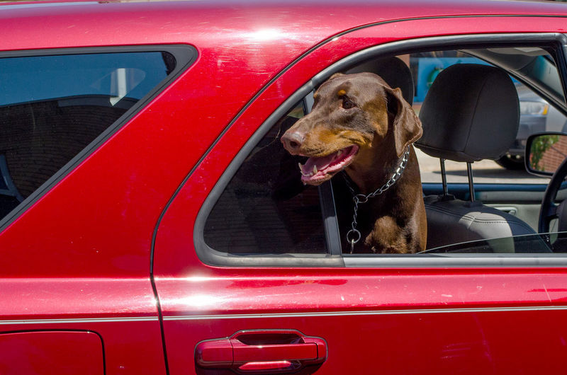 an unattended dog is left in a hot car but windows are open for fresh air and safety Animal Themes Car Close-up Day Dog Domestic Animals Hot Car Land Vehicle Mammal Mode Of Transport No People One Animal Open Window Outdoors Pet Safety Pets Red Transportation