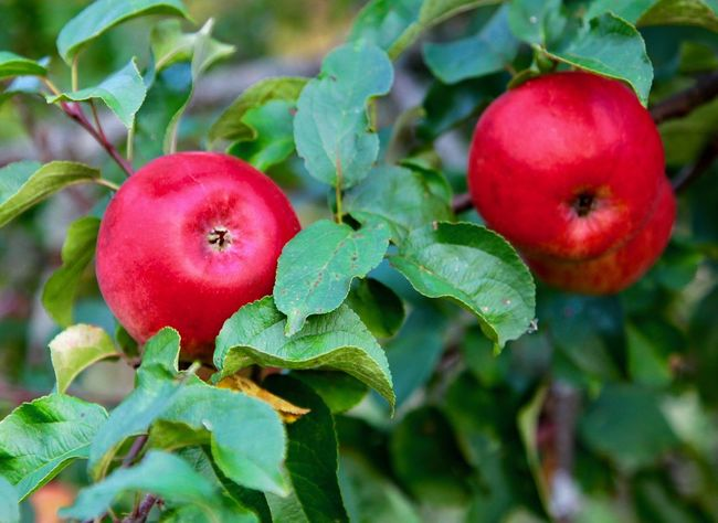 Fruit Apples Nature Tree Green Red Pink Color Close-up Plant Focus On Foreground No People Beauty In Nature Freshness EyeEmNewHere Outdoors Multi Colored Green Color Green Green Green!  Green Nature Red Color Apple Apple Tree Apple - Fruit Apple Trees Garden Apple Garden EyeEm Selects