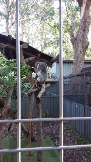 Australia Cute East Coast Fluffy Koala Koala Sanctuary Port Macquarie