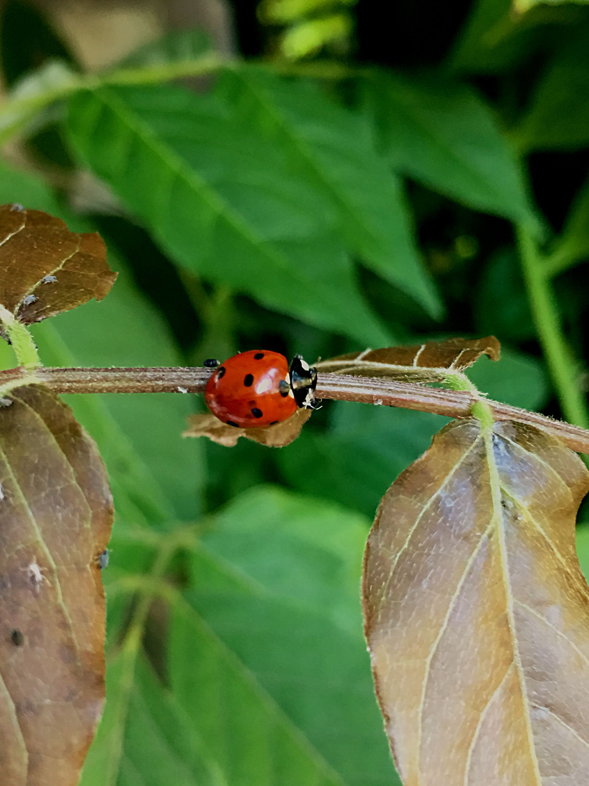 invertebrate, insect, plant part, leaf, animal wildlife, animals in the wild, animal themes, ladybug, close-up, animal, beetle, one animal, plant, nature, focus on foreground, green color, no people, day, spotted, red, outdoors, small