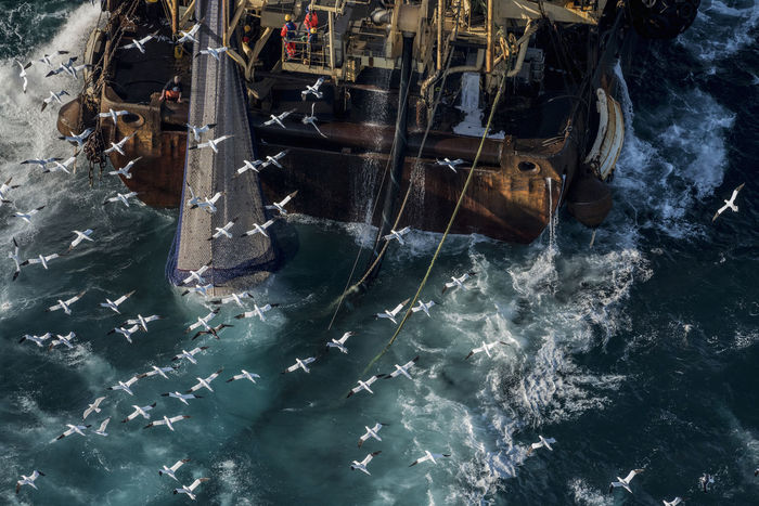 Overfishing, northern gannets,  trawler fishing for herring in the english channel, autumn spawning.